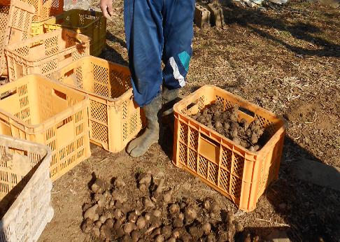 1/22八王子市谷野町の北原様より唐芋とほうれん草をいただきました。1/23八王子市の「ほっこり食堂」さんに寄付しました。